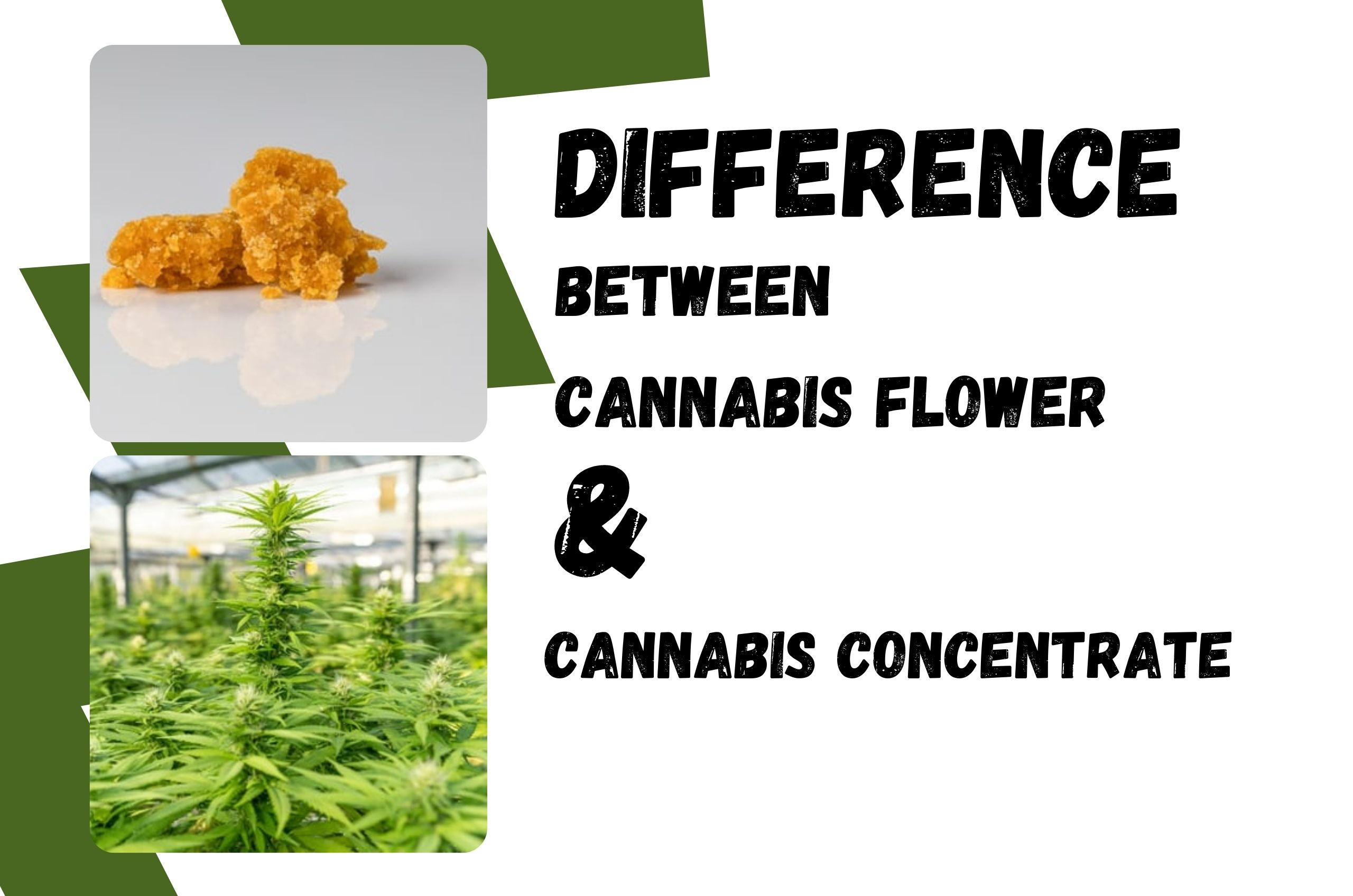 Cannabis Concentrates And Flowers: Differences by a Medical Marijuana Doctor
